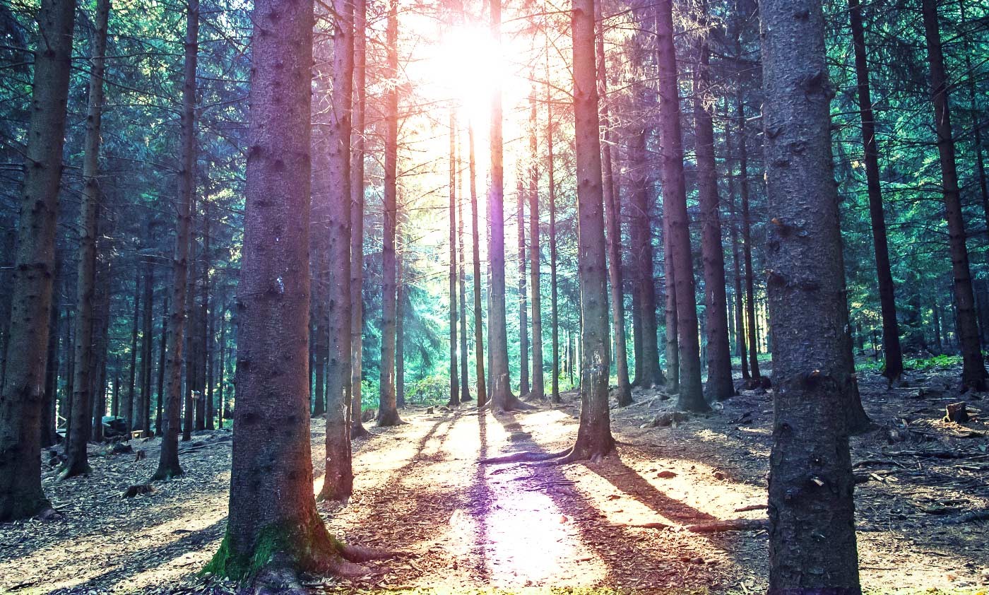 A bright sunrise peers through rows of endless trees in a forest.